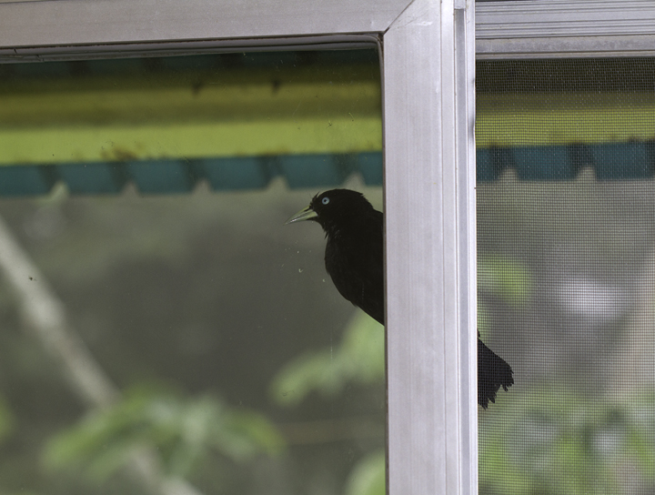 Birds at the Canopy Tower are so cooperative that this Scarlet-rumped Cacique is trying to break into our room for more photos. Photo by Bill Hubick.