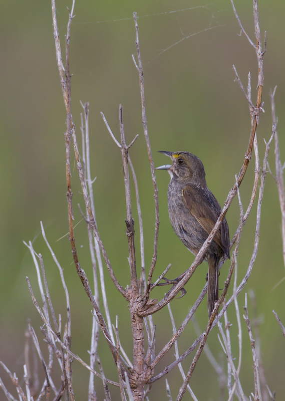 A singing Seaside Sparrow in Worcester Co., Maryland (6/26/2011). Photo by Bill Hubick.