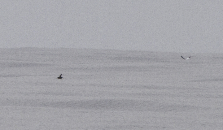 Documentation shots of a distant Sooty/Short-tailed Shearwater - Maryland's first winter record (2/26/2011). Unfortunately, these are the only photos of the bird, which was on the horizon and barely visible with the naked eye! A great spot by Mikey Lutmerding. Photo by Bill Hubick.