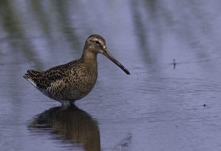 Don't worry, I can't do a full set of updates without any birds - a Short-billed Dowitcher at Cape Pond, North Carolina (5/30/2011). Photo by Bill Hubick.
