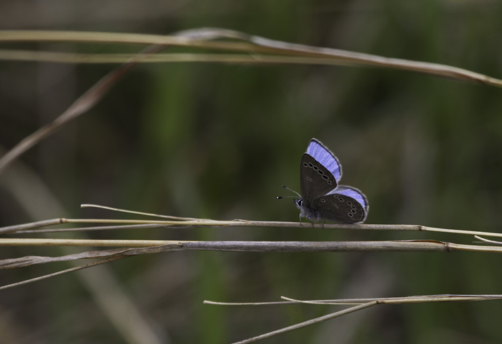 A Silvery Blue in Green Ridge SF, Maryland (4/30/2011). Photo by Bill Hubick.