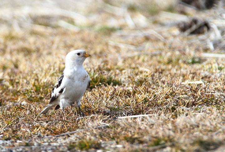 A late Snow Bunting in Somerset Co. (3/7/2010). A great find by Mike Walsh. Photo by Bill Hubick.