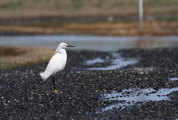 A Snowy Egret at Middle Hooper Island, Maryland (3/27/2010) - one of the first in Maryland for the year. Photo by Bill Hubick.