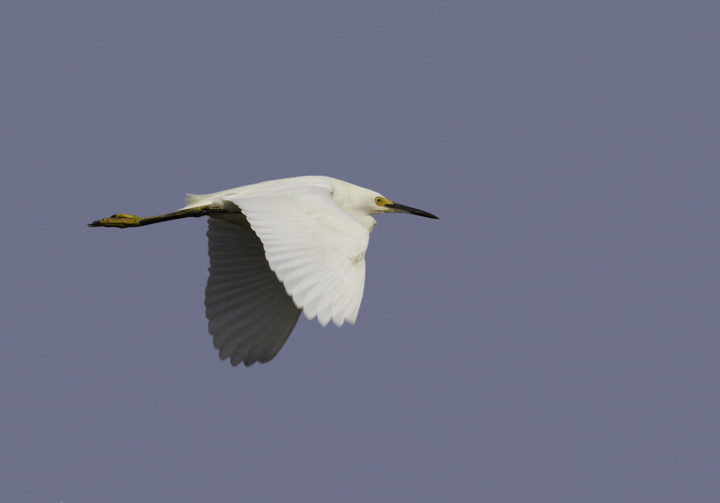 A Snowy Egret in flight over Truitt's Landing, Worcester Co., Maryland (6/26/2011). Photo by Bill Hubick.