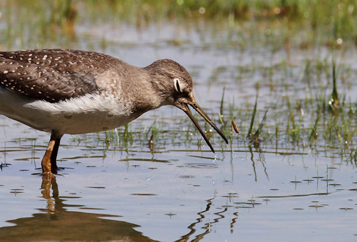 A juvenile Solitary Sandpiper at Triadelphia Reservoir, Montgomery Co., Maryland (9/19/2010). Photo by Bill Hubick.