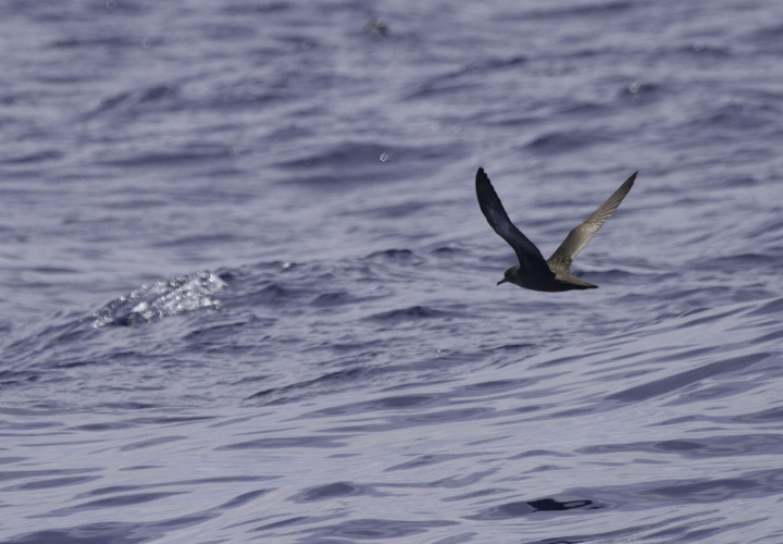 A Sooty Shearwater off Cape Hatteras, North Carolina (5/28/2011). Photo by Bill Hubick.