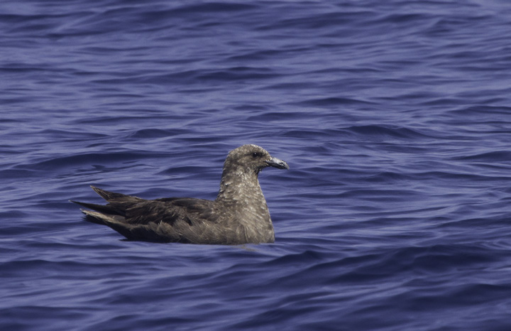 A mind-blowing close encounter with a South Polar Skua off Cape Hatteras, North Carolina (5/29/2011). Photo by Bill Hubick.