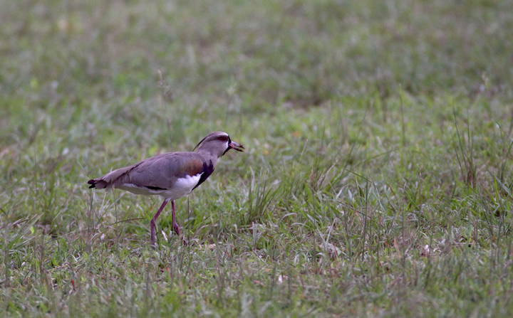 A Southern Lapwing in Gamboa, Panama (July 2010). Photo by Bill Hubick.