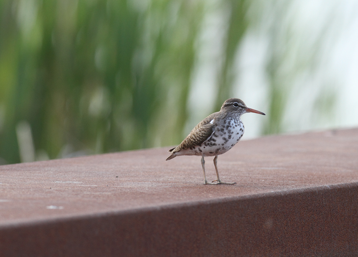 A Spotted Sandpiper resting on the unexpectedly closed Whitehaven Ferry, Somerset Co., Maryland (5/2/2010). Photo by Bill Hubick.