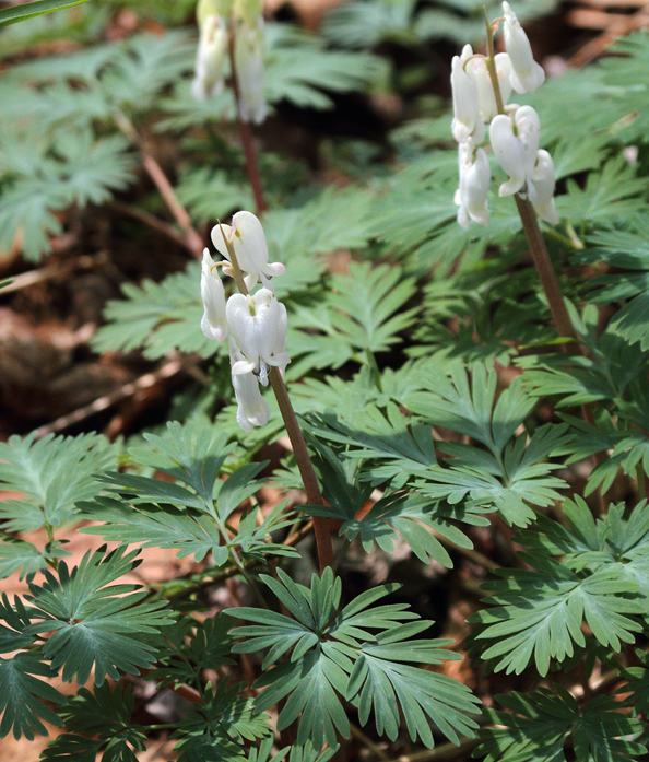 The very similar native wildflower, Squirrel Corn (Washington Co., 4/3/2010). Photo by Bill Hubick.