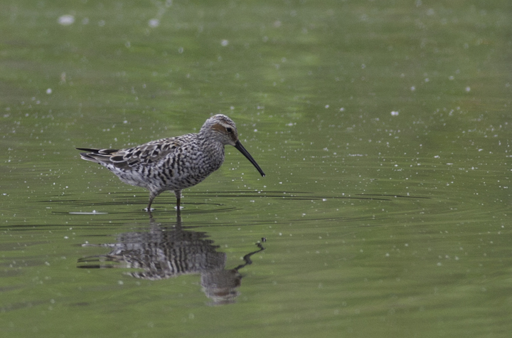 A Stilt Sandpiper in Prince George's Co., Maryland (5/16/2009). Photo by Bill Hubick.