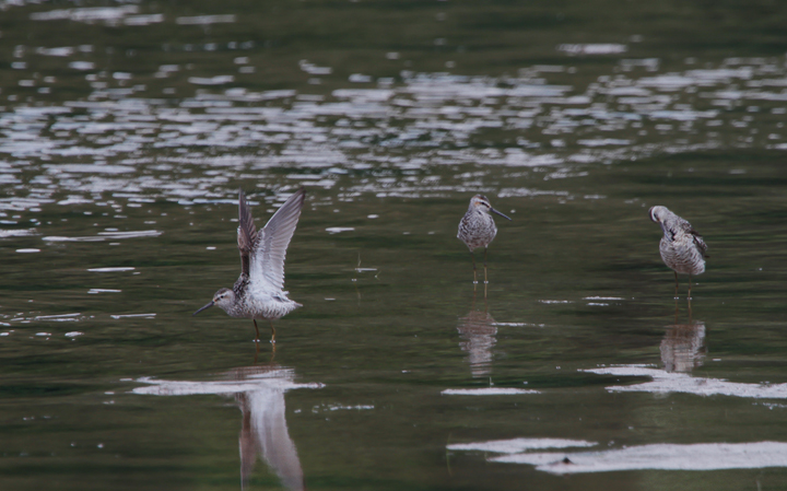 Three Stilt Sandpipers at Youghiogheny Reservoir, Garrett Co., Maryland (7/24/2010). Photo by Bill Hubick.