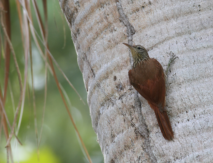 A Streak-headed Woodcreeper in a residential area of Gamboa, Panama (July 2010). Photo by Bill Hubick.