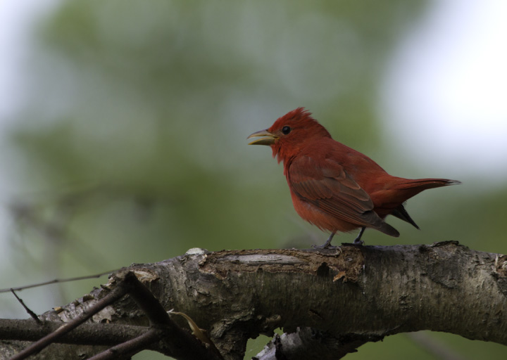 A Summer Tanager sings on territory near Jug Bay in Anne Arundel Co., Maryland (5/7/2011). Photo by Bill Hubick.
