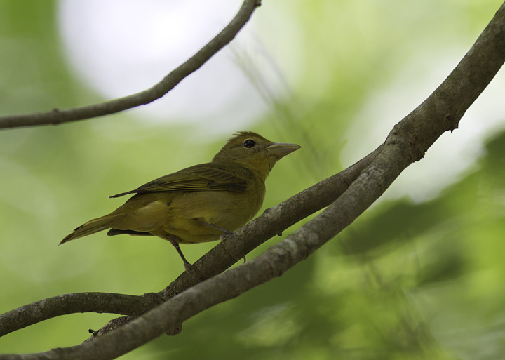 A Summer Tanager near Dividing Creek in Somerset Co., Maryland (5/11/2011). Photo by Bill Hubick.