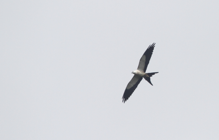 A Swallow-tailed Kite soars over the hills near El Valle, Panama (7/13/2010). Photo by Bill Hubick.
