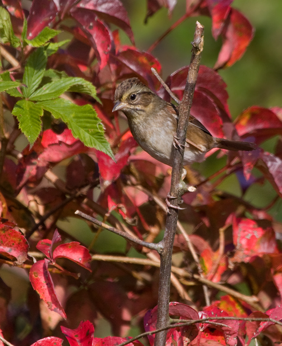 A Swamp Sparrow at Pocomoke Sound WMA in Somerset Co., Maryland (10/25/2009).