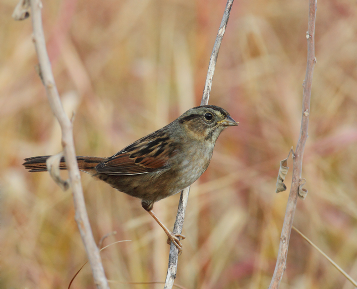 A Swamp Sparrow in southern Worcester Co., Maryland (10/26/2010). Photo by Bill Hubick.