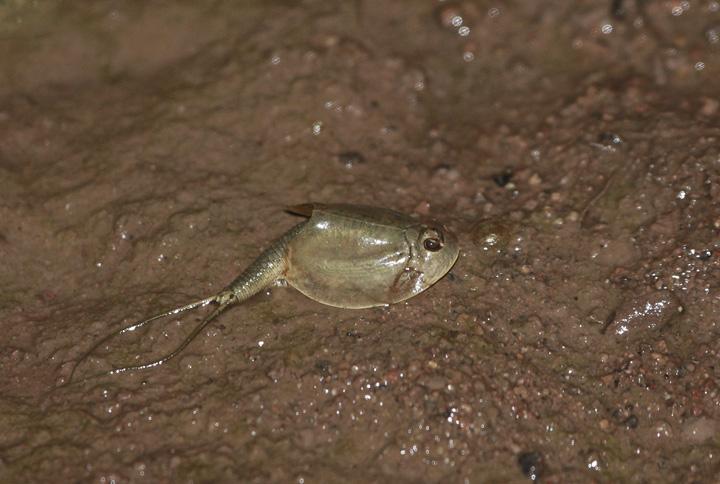 Below: A Mexican Spadefoot near Nogales, Arizona (8/4/2008).