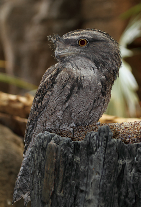 Tawny Frogmouth - Australia exhibit at the National Aquarium (12/31/2009). Photo by Bill Hubick.