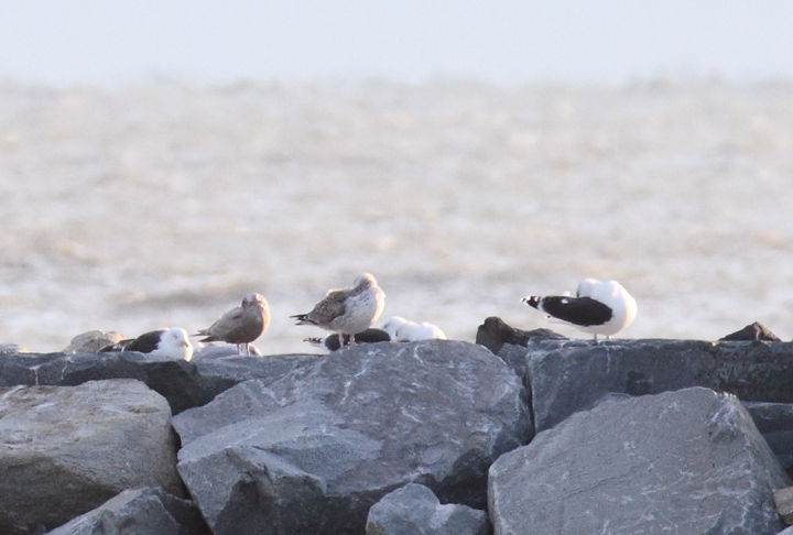 A first-cycle Thayer's Gull roosting among Great Black-backed Gulls at the Ocean City Inlet, Maryland (12/5/2010). Photo by Bill Hubick.