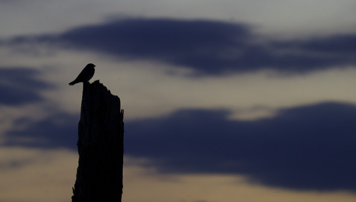 A Tree Swallow silhouetted against the setting sun in Anne Arundel Co., Maryland (5/7/2011). Photo by Bill Hubick.