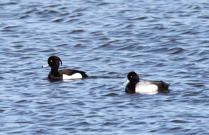 Above and below: A stunning adult male Tufted Duck found by Ron Gutberlet - Kent Narrows, Maryland (3/16/2010). This is only Maryland's fifth record of the species. Photo by Bill Hubick.