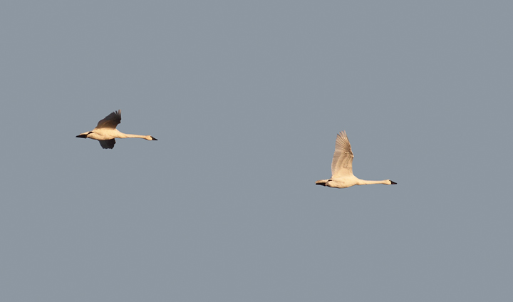 Tundra Swans over Eastern Neck NWR, Kent Co., Maryland (11/22/2009).