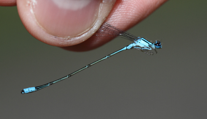 A Turquoise Bluet in Charles Co., Maryland (6/6/2010). Photo by Bill Hubick.