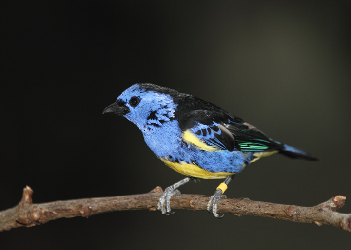 Turquoise Tanager - Rainforest exhibit at the National Aquarium (12/31/2009). Photo by Bill Hubick.
