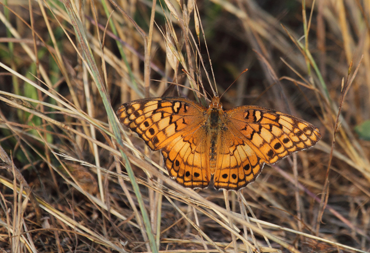 A Variegated Fritillary at Chino Farms, Maryland (6/19/2010). Photo by Bill Hubick.