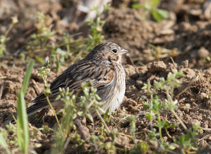 A Vesper Sparrow on territory in rural Caroline Co., Maryland (4/17/2010). Photo by Bill Hubick.