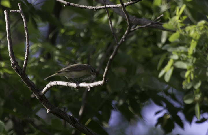A Warbling Vireo gathers nesting material in northern Anne Arundel Co., where this species is a very local nester (5/7/2011). Photo by Bill Hubick.