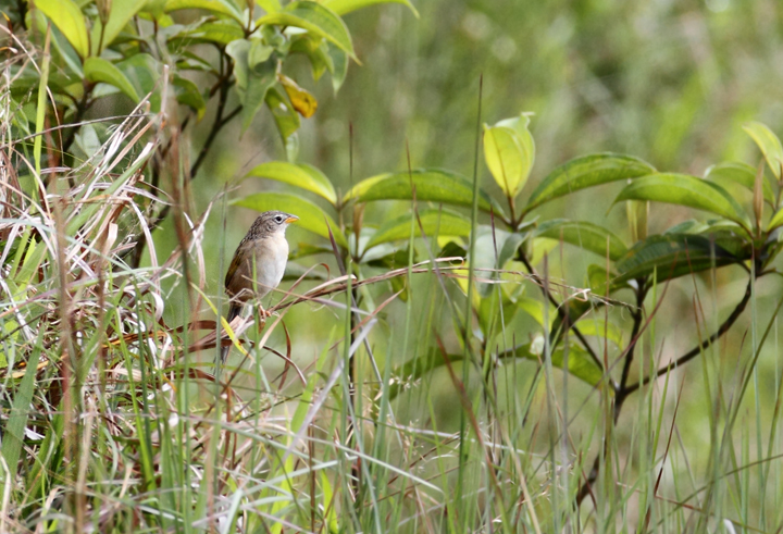 A Wedge-tailed Grass-finch singing from its hilltop territory (Las Mozas, Panama, 7/11/2010). Photo by Bill Hubick.