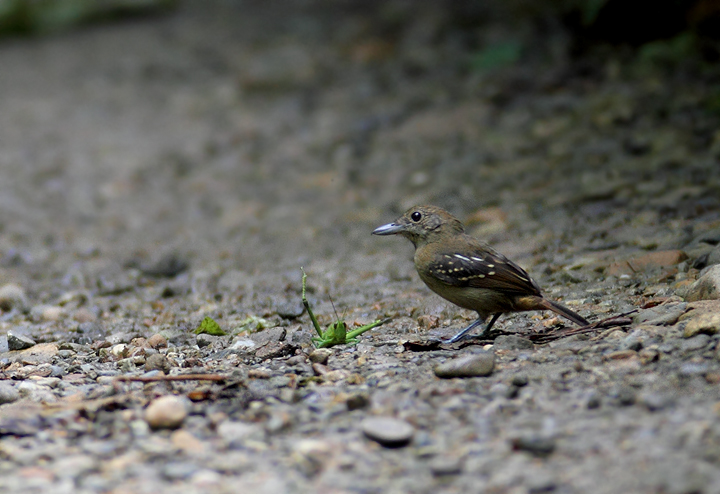 A female Western Slaty-Antshrike executes a successful attack run on Pipeline Road, Panama (August 2010). Photo by Bill Hubick.