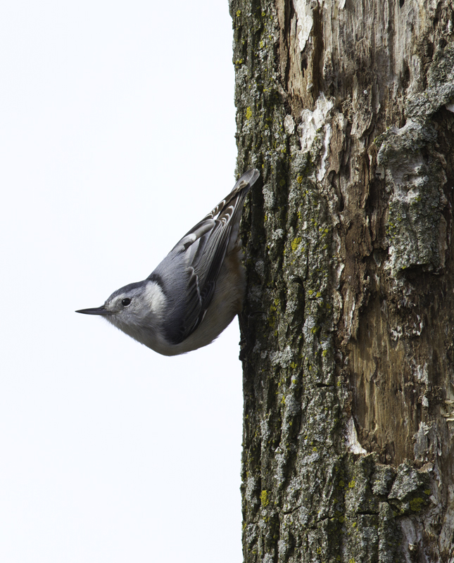 A White-breasted Nuthatch in Kent Co., Maryland (2/20/2011). Photo by Bill Hubick.