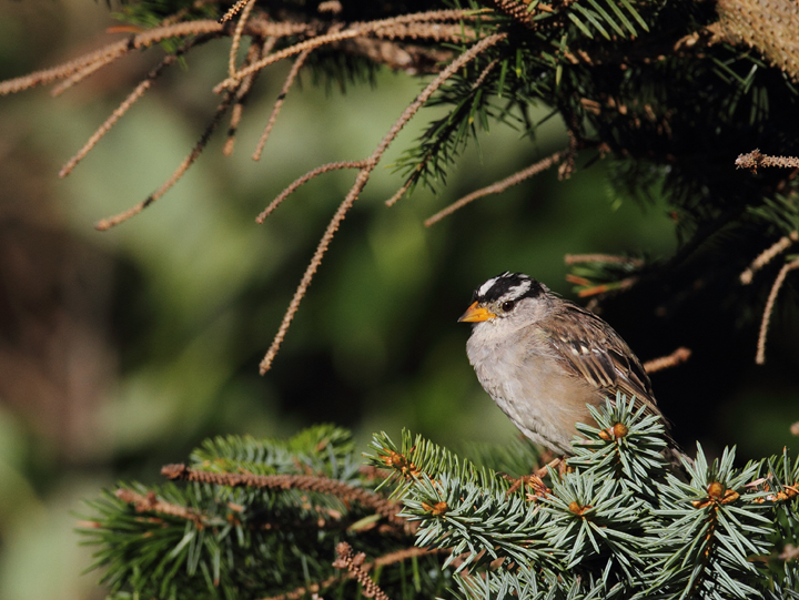 An adult White-crowned Sparrow at Ecola State Park, Oregon (9/3/2010). Photo by Bill Hubick.