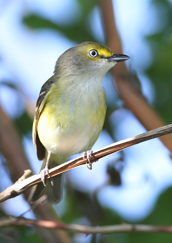 A White-eyed Vireo at Finzel Swamp, Garrett Co., Maryland (5/30/2010). Photo by Bill Hubick.
