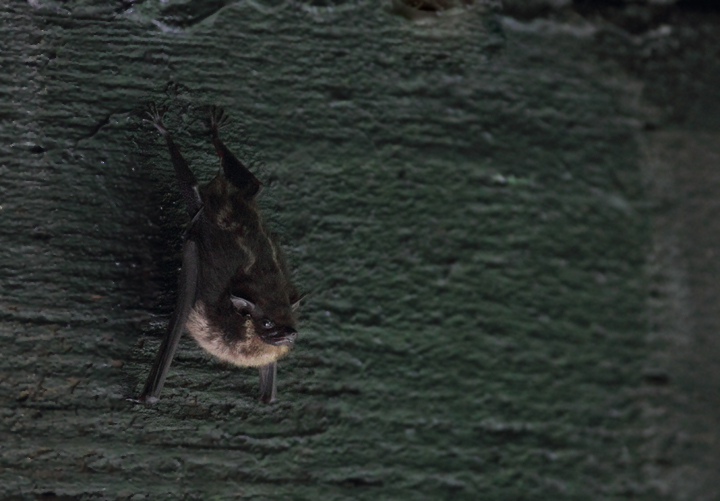 A White-lined Bat (presumed Greater) roosting under a bridge in central Panama (July 2010). Photo by Bill Hubick.