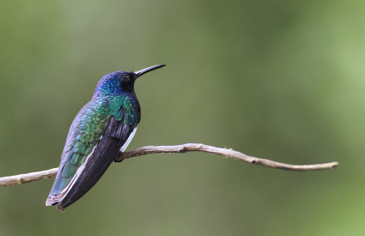 An adult White-necked Jacobin rests briefly at a favorite perch (Panama, July 2010). Photo by Bill Hubick.