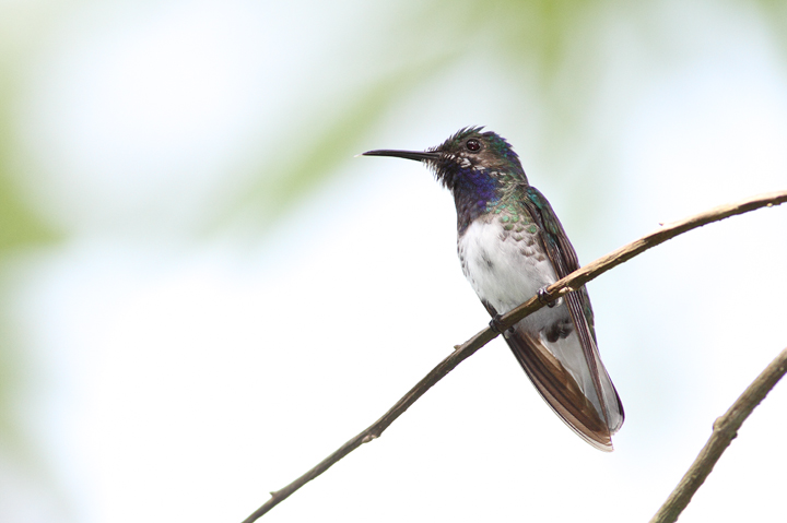 An immature White-necked Jacobin - very cool plumage (Panama, July 2010). Photo by Bill Hubick.