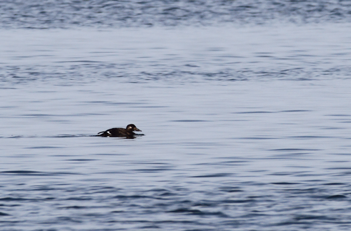A White-winged Scoter hanging out just off Assateague Island, Maryland (11/7/2009).