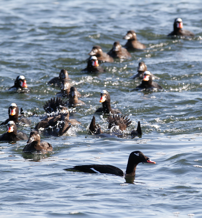 White-winged Scoters at the Ocean City Inlet, Maryland (1/9/2010). A party of actively feeding Surf Scoters in the background. Photo by Bill Hubick.