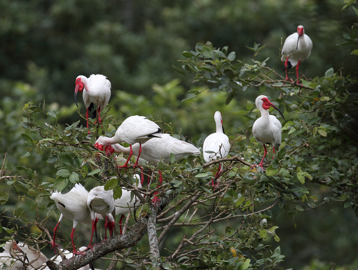 Breeding White Ibis amidst a large rookery near Chepo, Panama (7/10/2010).<br />Sixty or so White Ibis were drawn in among the 600+ (probably many more) Cattle Egrets nesting here.  Photo by Bill Hubick.