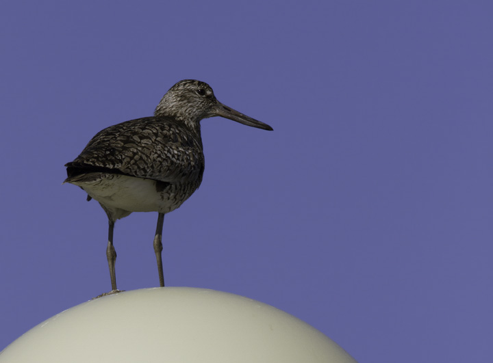 An Eastern Willet surveys his domain from an unconvential perch in Ocean City, Maryland (5/11/2011). The perch is a lightpost in the Shantytown park-and-ride. Photo by Bill Hubick.