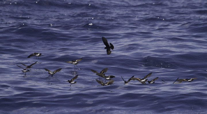 "Wilson's Storm Petrels ""dancing"" as they forage off Cape Hatteras, North Carolina (5/29/2011). In the second image, note the yellow webbing between the toes! Photo by Bill Hubick."