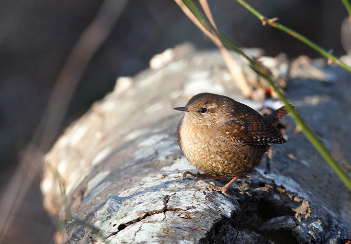 A Winter Wren in St. Mary's Co., Maryland (1/3/2010). Photo by Bill Hubick.