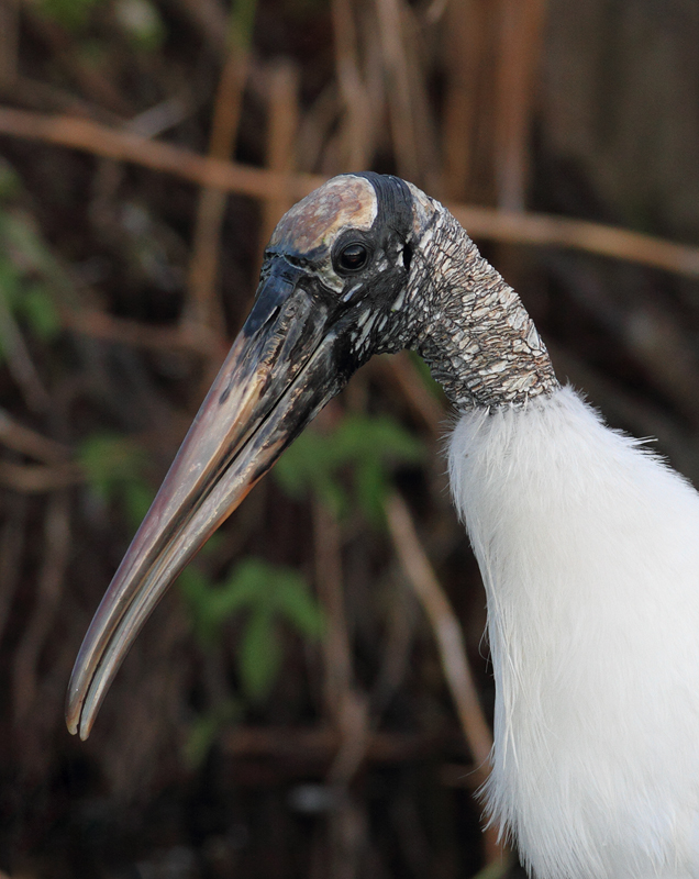 A Wood Stork - one of my personal favorites - poses for a portrait in the Everglades (2/26/2010). Photo by Bill Hubick.