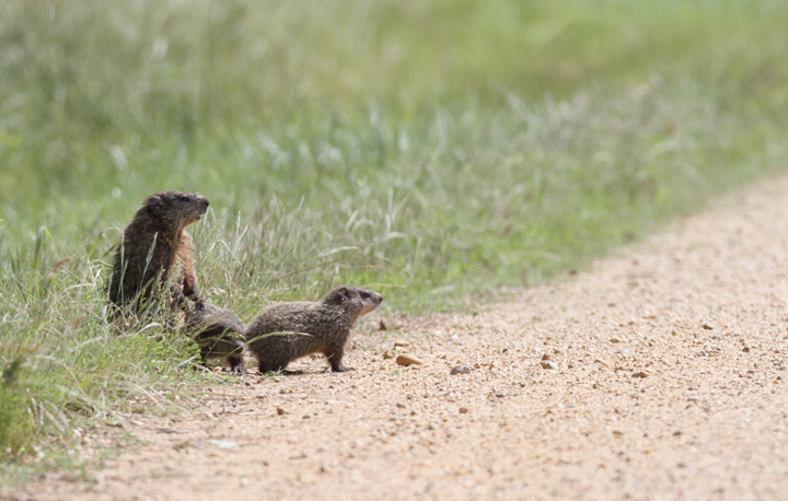 A family of Groundhogs considers a road crossing in Charles Co., Maryland (6/6/2010). Photo by Bill Hubick.