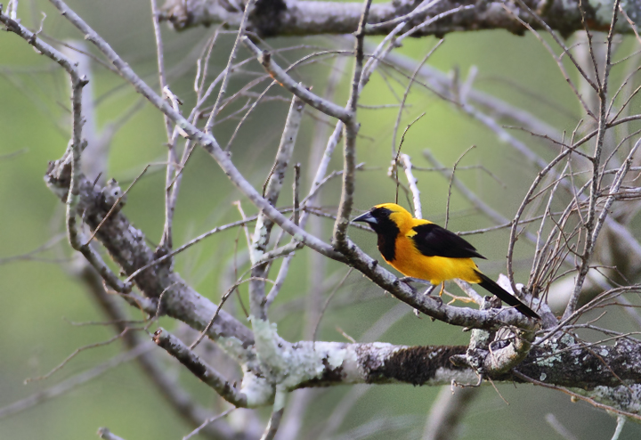 A Yellow-backed Oriole near Nusagandi, Panama (7/10/2010). Photo by Bill Hubick.